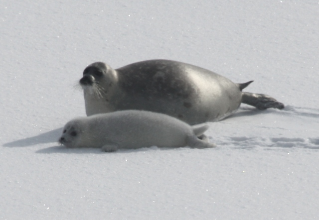 mother-pup pair on ice