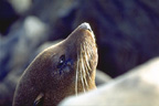 New Zealand Fur Seal Image