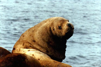 Steller Sea Lion Image