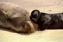 Hawaiian Monk Seal Image