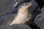 Australian Sea Lion Image