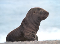 South American Sea Lion Image